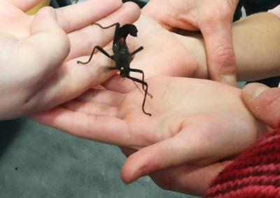 Samtheuschrecken